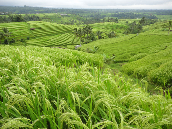 photo credit: http://www.baliunclepetertours.com