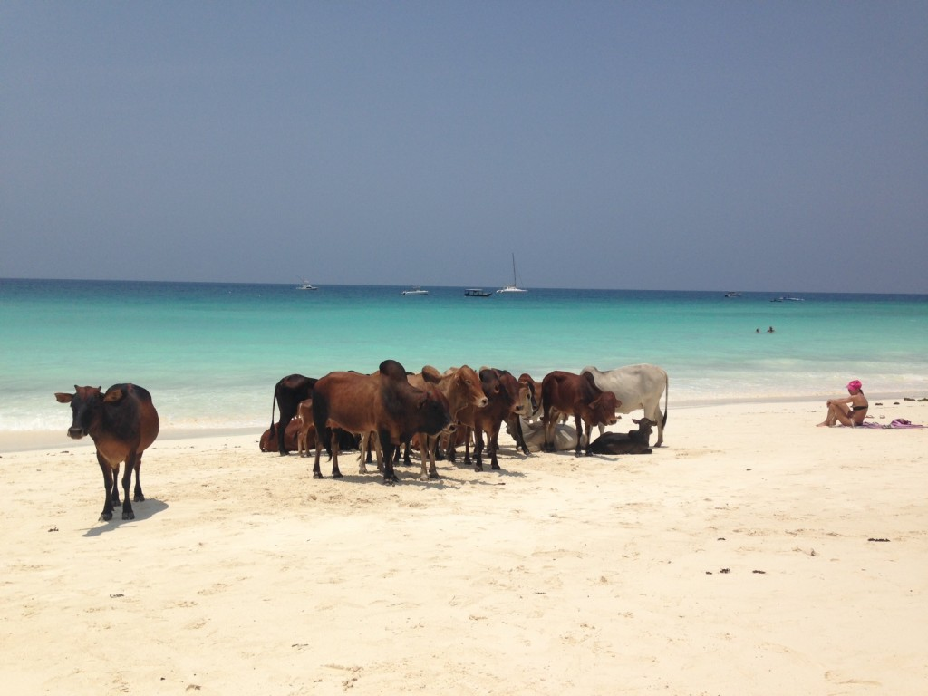 Cows on Nungwi Beach
