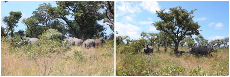 White Rhinos in Matopos National Park