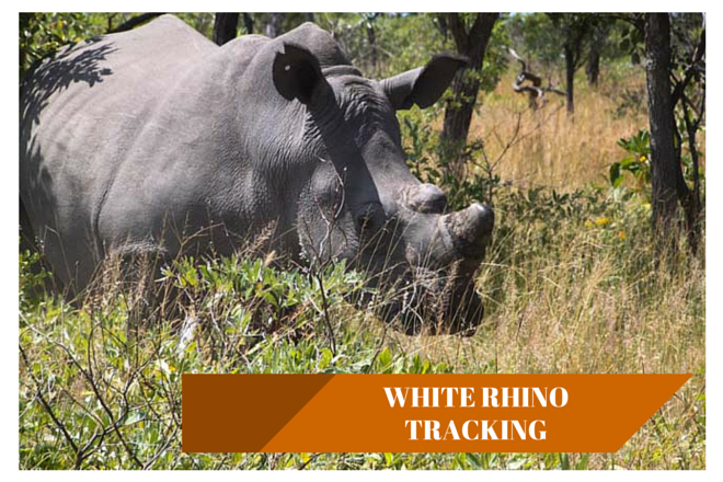 White Rhino tracking in Matopos National Park