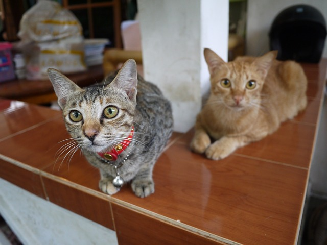 Cat Sitting in Bali